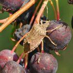 Primavera: nuovo allarme cimice asiatica a Pordenone. A rischio mele, kiwi e uva