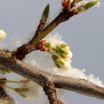Anomalie climatiche, agricoltori in ginocchio per le gelate: allarme Coldiretti