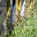 Moria di api: 236 terreni sotto sequestro e 152 indagati per uso improprio di fitofarmaci