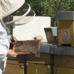Il 20 maggio è la Giornata mondiale delle api. In FVG sono oltre 1200 gli apicoltori