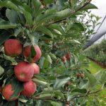 Raccolto da record in Friuli Venezia Giulia per quantità e qualità: e le mele volano in USA