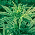 La Guardia di Finanza scopre una coltivazione di 150 piante di marijuana