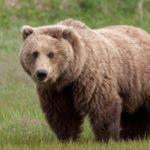 Orso da 200 chilogrammi proveniente dalla foresta di Tarvisio investito e ucciso nel Gail