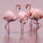 I fenicotteri rosa stabili ospiti nella Riserva naturale della Valle Cavanata presso Grado. Le foto