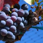 Cannonau, anima sarda: successo per la degustazione curata dagli assaggiatori