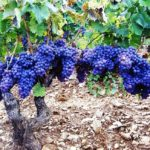 Cannonau, il vitigno più antico del Mediterraneo: conferenza e degustazione il 19 gennaio