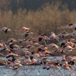 Fenicotteri in volo nella riserva naturale della Valle Cavanata nella laguna di Grado