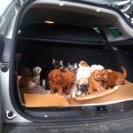 Traffico illecito di cuccioli: fermata un'auto con 22 cagnolini a bordo