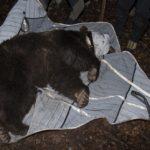 """""""Mirtillo"""" un nuovo orso in FVG: catturato in Alta Val Torre e dotato di collare per monitoraggio"""