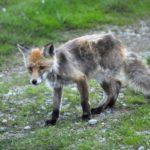 Aumentano i casi di cimurro tra le volpi in Friuli Venezia Giulia. A rischio i cani non vaccinati
