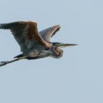 Incredibile nidiata di aironi rossi in Val Cavanata. Lo splendido uccello mai così a Nord in Adriatico