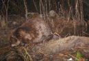 La notizia del ritorno del castoro in FVG entusiasma i naturalisti friulani e non solo