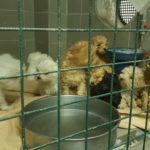 24 cuccioli di contrabbando sequestrati sul raccordo autostradale di Trieste