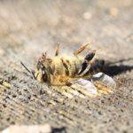 Moria di api: mielicultori e Legambiente per la messa al bando del pesticida