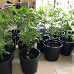La Polizia sequestra una piantagione di marijuana sul Carso triestino. Indagini in corso