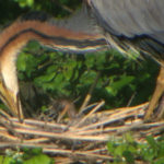 Si schiudono le uova in Val Cavanata: i piccoli aironi nei nidi. Le foto