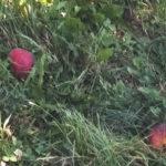A Latisana danni del 100% sui frutteti, ma contro la cimice arriva la vespa samurai