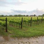 Coldiretti FVG: vendemmia occasione per il rilancio del progetto Consorzio Friuli DOC