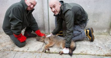 Ricercatori dell'Università di Udine catturano un esemplare di sciacallo dorato. Video