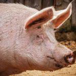 Peste suina, l'allarme di Confagricoltura sulle carni provenienti dalla Cina