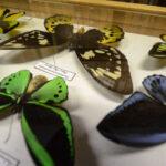 L'insetto che vive solo a Bordano e altre meraviglie dell'entomologia nel nuovo museo Muffa