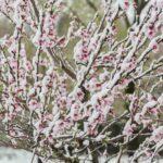 Shock termico con neve a bassa quota, a rischio ciliegi, albicocchi, peschi e mandorli già fioriti. Le foto