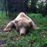 A Verzegnis ricatturato e rimesso in libertà con il radiocollare l'orso Francesco