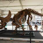 """Il Triceratopo """"Big John"""" dal South Dakota per tre giorni in piazza Unità d'Italia a Trieste"""