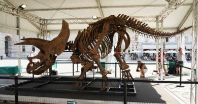 Lo scheletro del triceratopo Big John comprato all'asta da un collezionista per oltre 6 milioni di euro