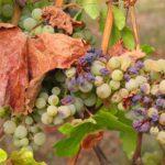 Il caldo torrido e la mancanza di precipitazioni stanno bruciando frutta e verdura nei campi